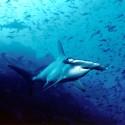 968px-Hammerhead_shark,_Cocos_Island,_Costa_Rica