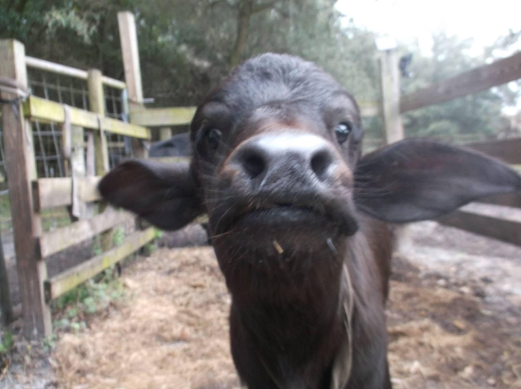 jon's cow