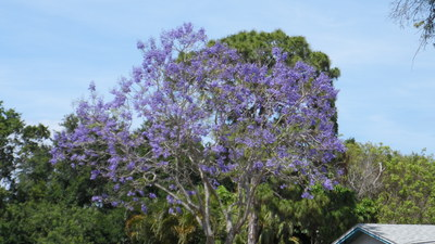 Large_jacaranda_bloom_purple_sk_apr_2013_sam_1749