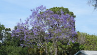 Medium_jacaranda_bloom_purple_sk_apr_2013_sam_1749