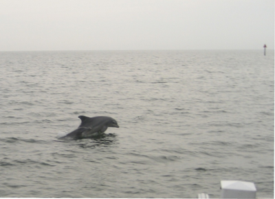 Large_dolphin