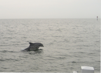 Medium_dolphin