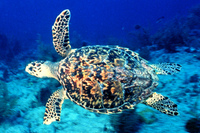 Medium_hawksbill_turtle