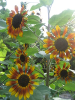 Medium_sunflowers_at_sweetwater_organic_farm_seank_2011_april_30