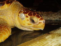 Medium_loggerhead2_fullsize