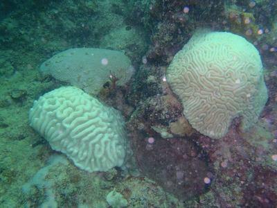 Large_bleahd_brain_corals_courtesy_cindy_lewis_keys_marine_lab