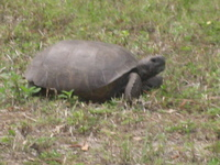 Medium_gopher_tortoise_march_2012_sk_boyd_hill_img_4253