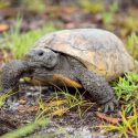 Gopher tortoise like those found at Boyd Hill