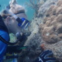 coral transplants