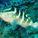 Endangered Species Act threatened Florida fish, Nassau grouper