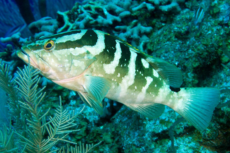 Endangered Species Act threatened Florida fish, Nassau grouper